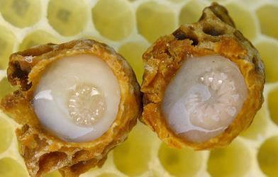 Bee Larve